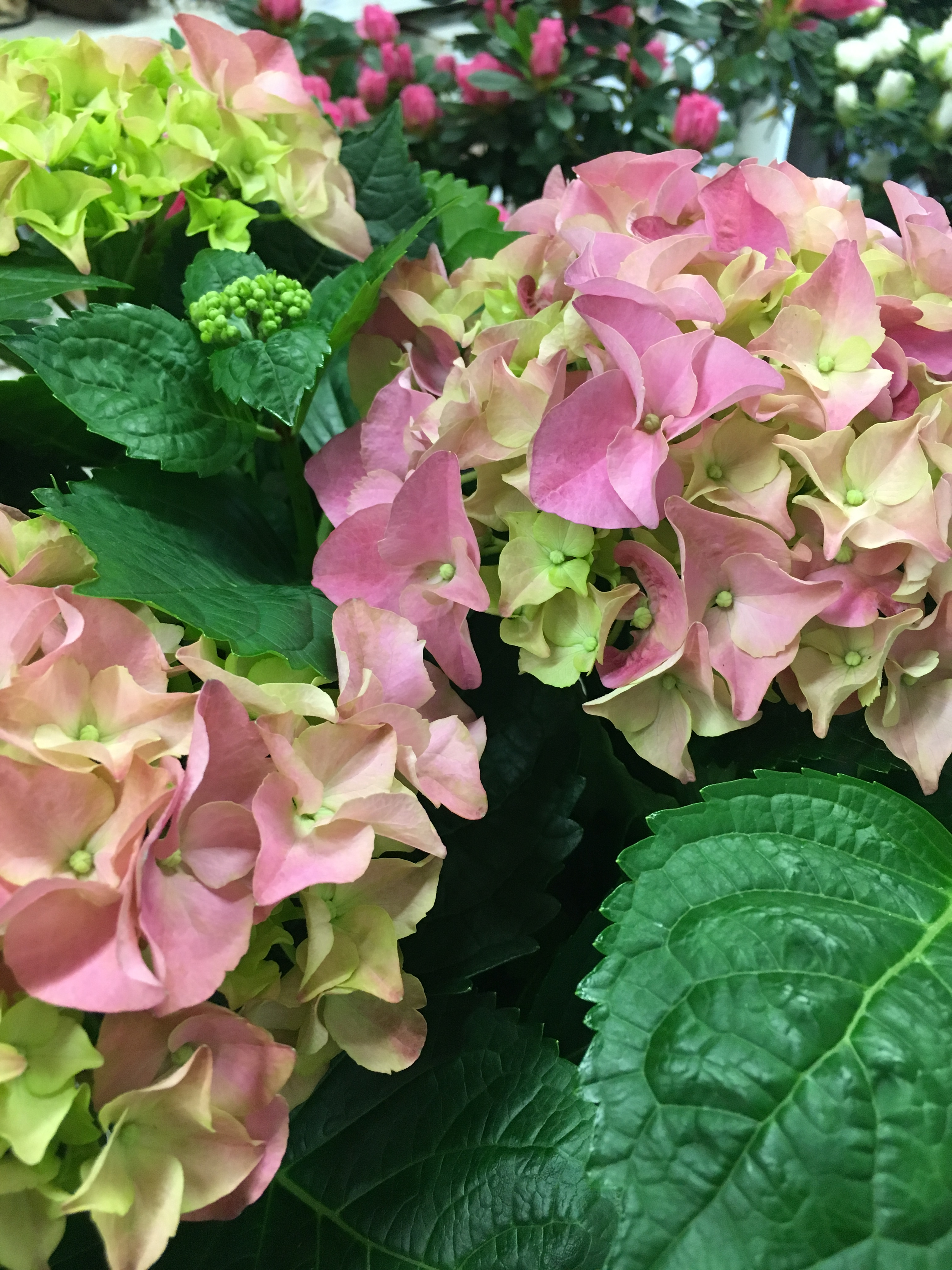 Img3942 randymcmanusdesignsincs blog along with our always beautiful orchids and cut flowers were loving these hydrangea plants and azaleas all make perfect gifts img3942 izmirmasajfo